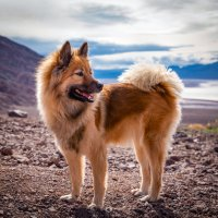 Know your breed: Eurasier